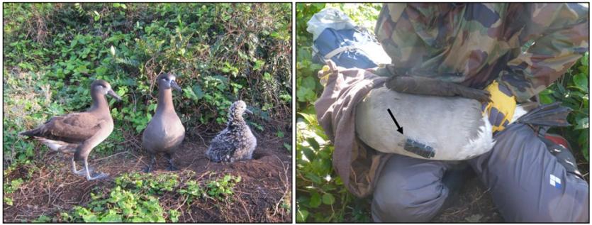 子育て中のクロアシアホウドリ Phoebastria nigripes(左図)と腹部にビデオ記録計(矢印)を装 着したクロアシアホウドリ(右図)。