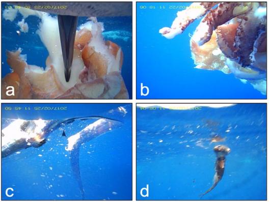 クロアシアホウドリに装着したビデオ記録計によって記録されたイカ類(a,b)と魚類(c,d)の例
