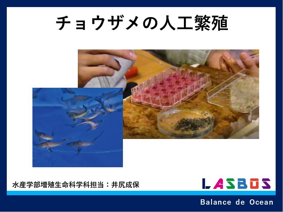 チョウザメの人工繫殖
