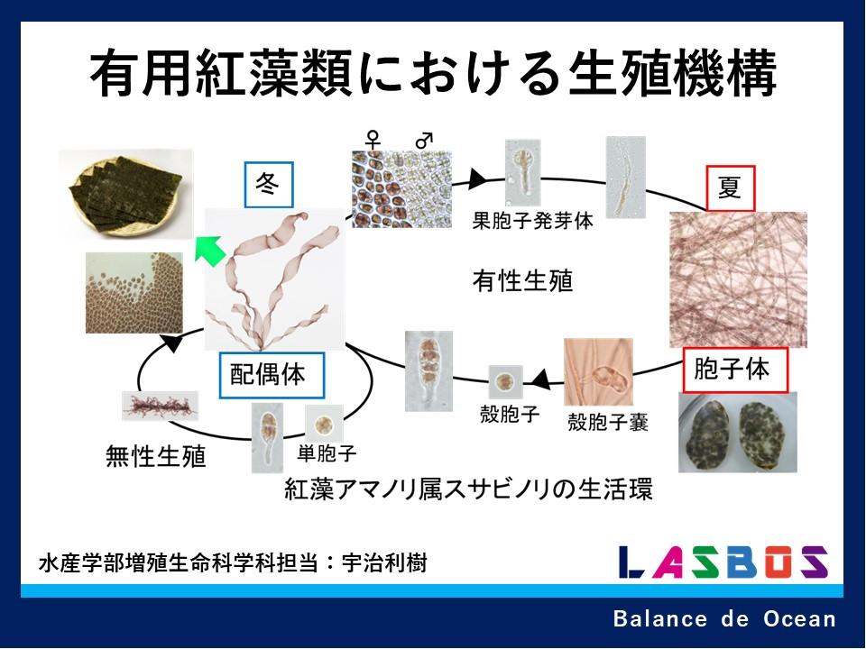 有用紅藻類における生殖機構