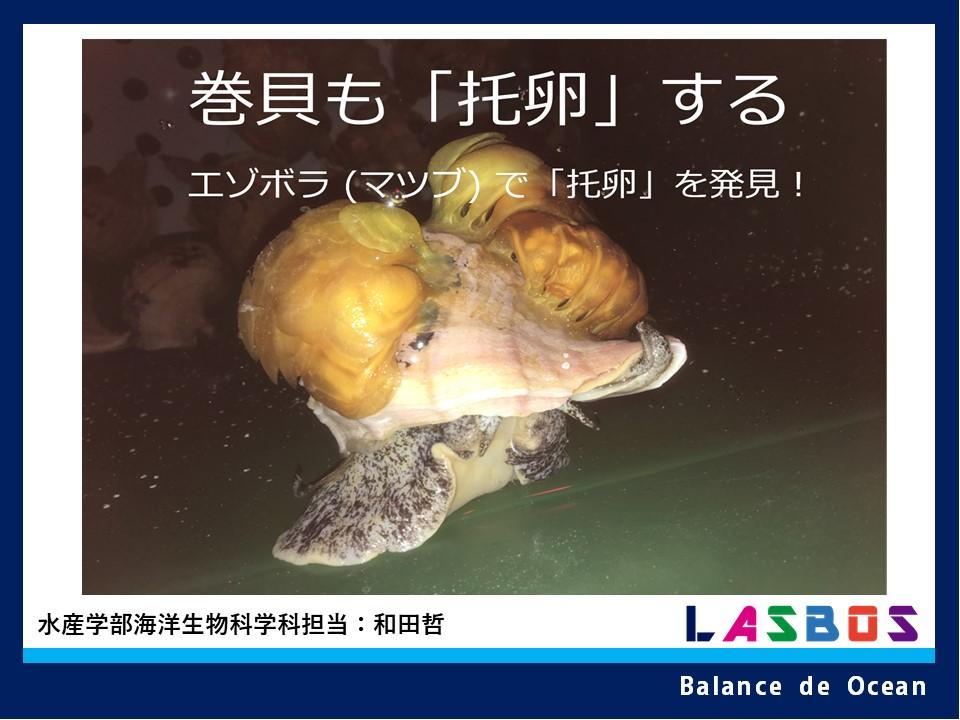 巻貝も「托卵」する