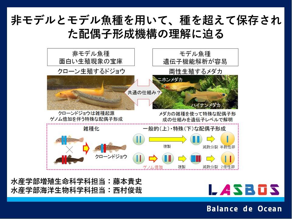 非モデルとモデル魚種を用いて、 種を超えて保存された配偶子形成機構の理解に迫る
