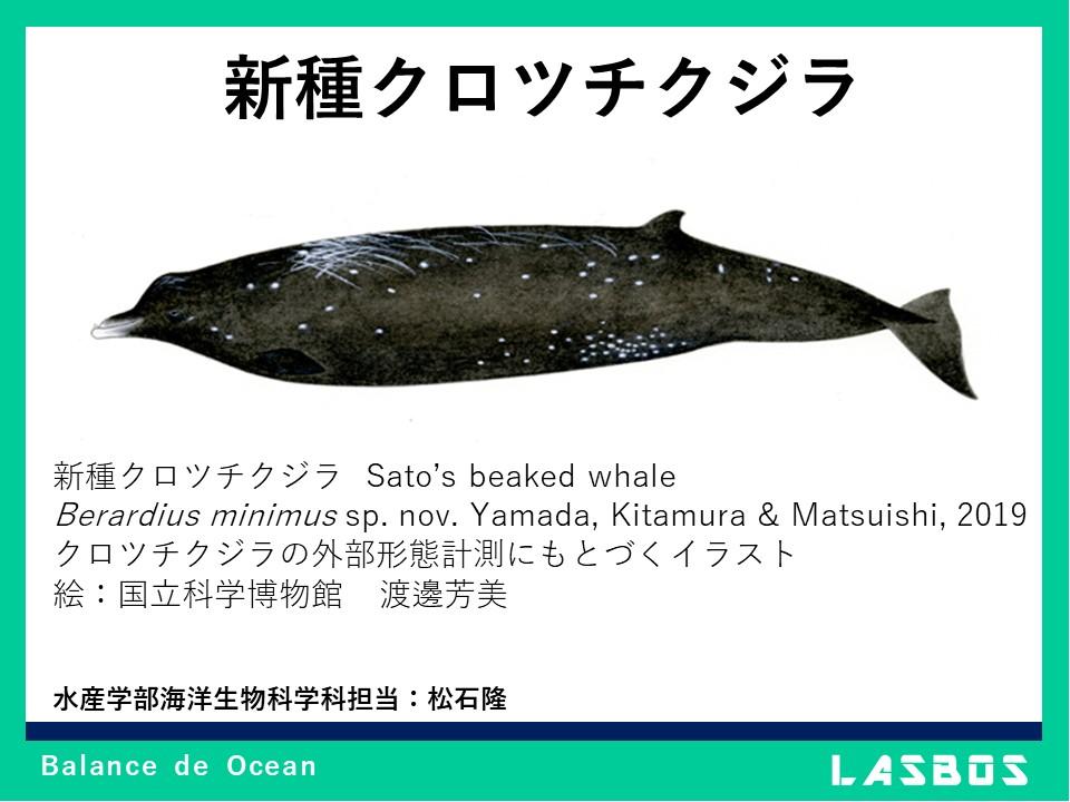 新種クロツチクジラ