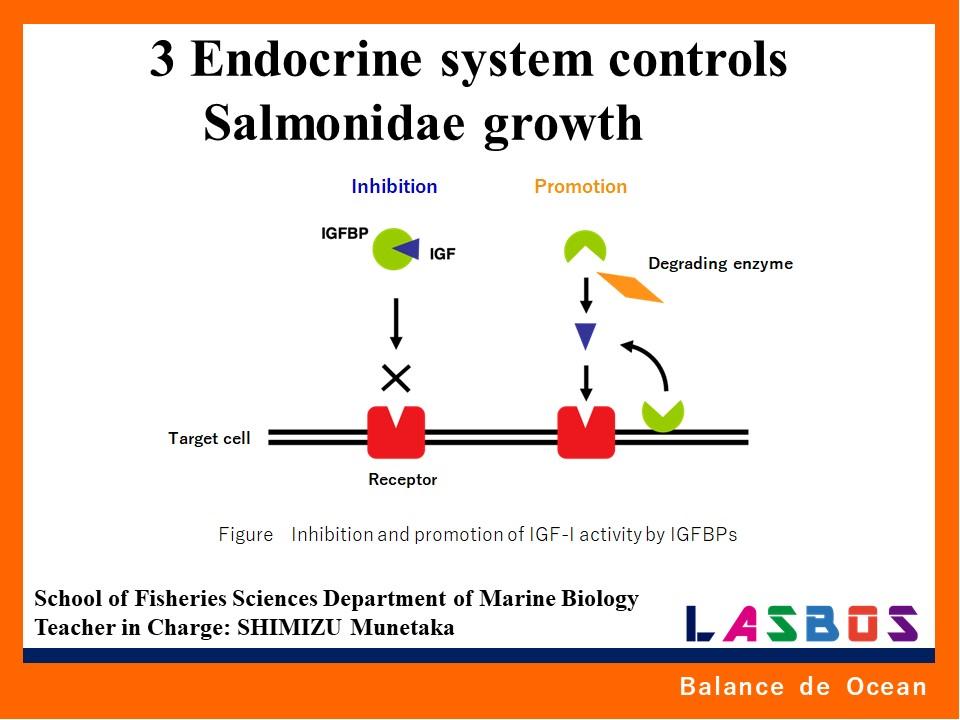 3 Endocrine system controls Salmonidae growth